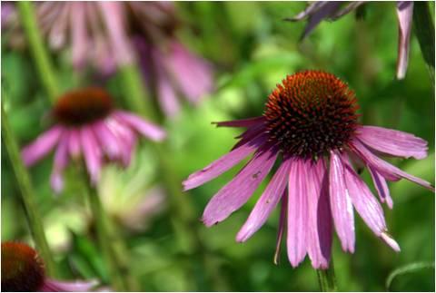 Echinacea purpurea Magnus - Exbury Garden Hampshire