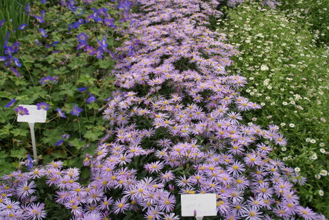 "Geranium ""Jolly Bee"", Aster Lutetia and Erygeron Karvinskianus"