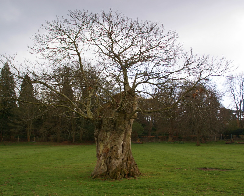Pollarded veteran oak